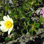 alpine plants wales