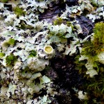 what is a lichen?
