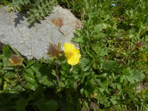 The Tour of Mont Blanc and its flowers